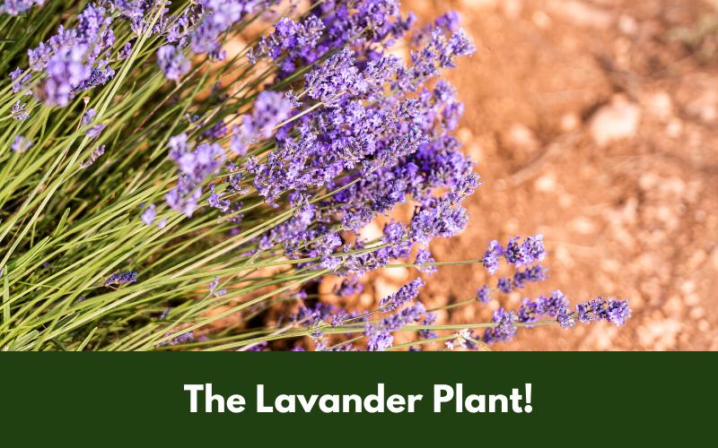 The Lavander Plant!