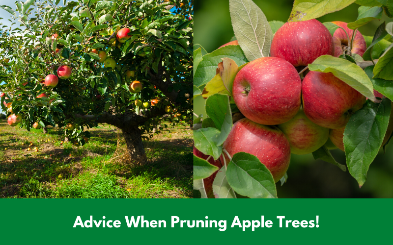 Advice When Pruning Apple Trees!