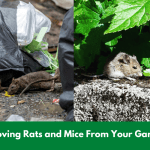 Removing Rats and Mice From Your Garden!