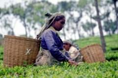 Altromercato_teapicking_Stassen_SriLanka
