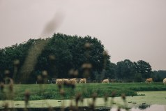 wilde-koeien2