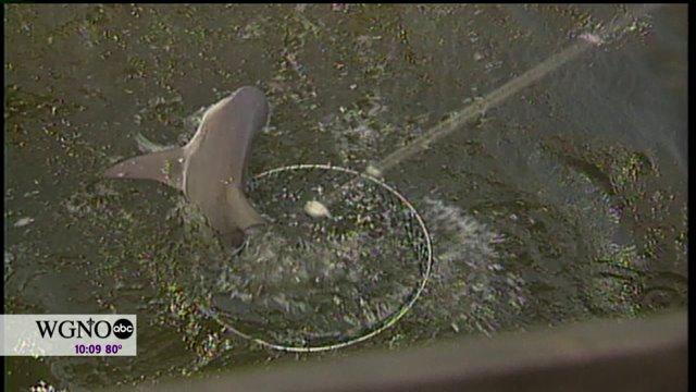 Sharks in Lake Pontchartrain