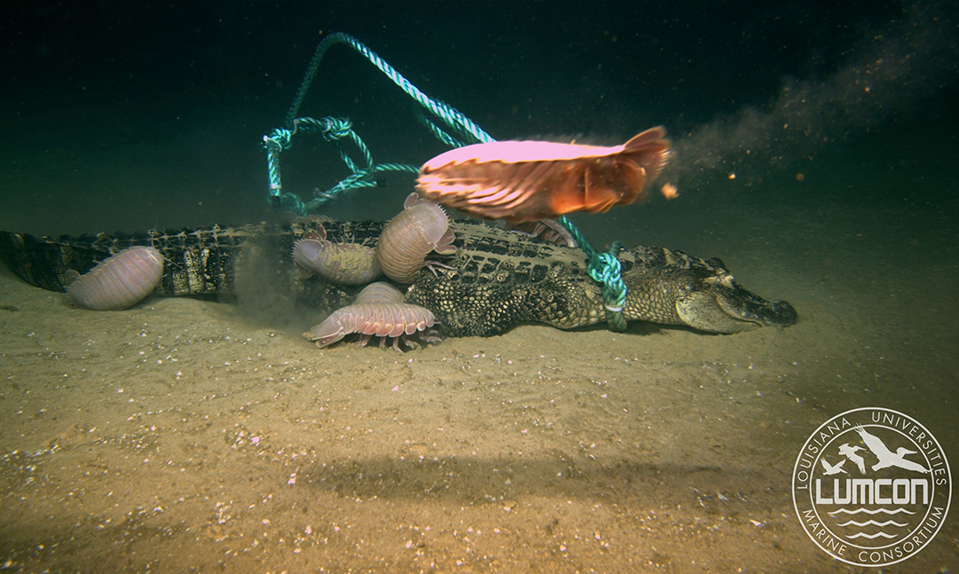 Alligator bites: Reptiles prompt surprising finds in Gulf of Mexico ecosystem