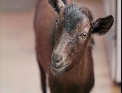 Doritos Super Bowl Ad: Goat 4 sale