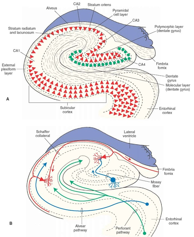 Mouse Hippocampus Anatomy