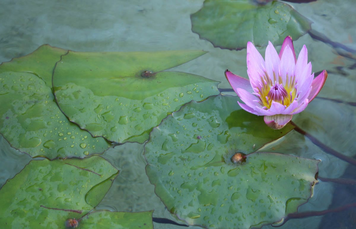The Huntington, Chinese Garden, Lily pond.