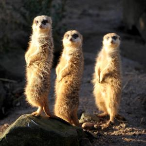 three_meerkats