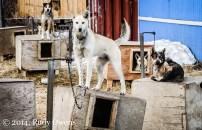 Hundreds of sled dogs call Kotzebue home (2008).