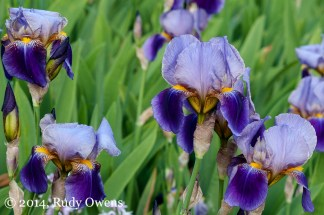 The iris is a damn seductive flower, almost tawdry in its wilting, rich, dark petals dropping down (2014).
