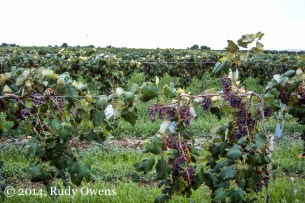 Grapes Hanging Heavy on the Vine