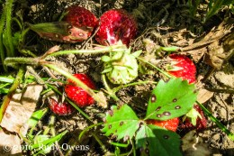 Strawberries Ripening