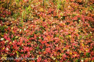 Chugach State Park, Underbrush in Fall