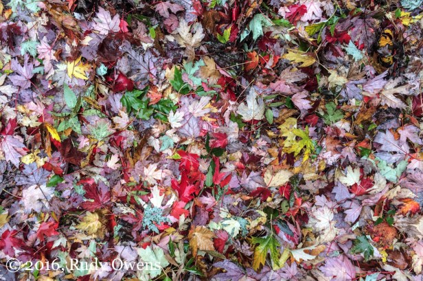Fall has returned to Portland, Oregon. The colors are lovely now, in their soggy Northwest way.