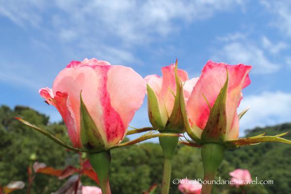 Roses of Lady Norwood Gardens