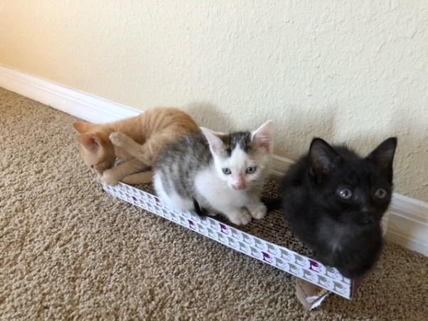 foster-kittens