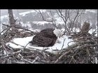 climate change confuses eagle mother fighting to keep her eggs warm - Climate Change confuses Eagle mother fighting to keep her eggs warm
