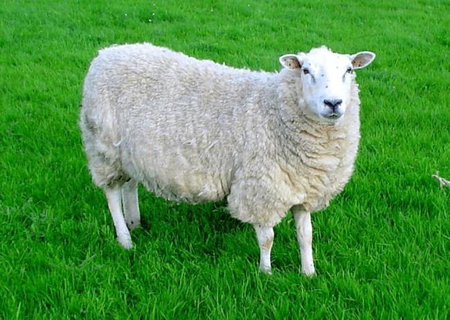 sheep-public-domain