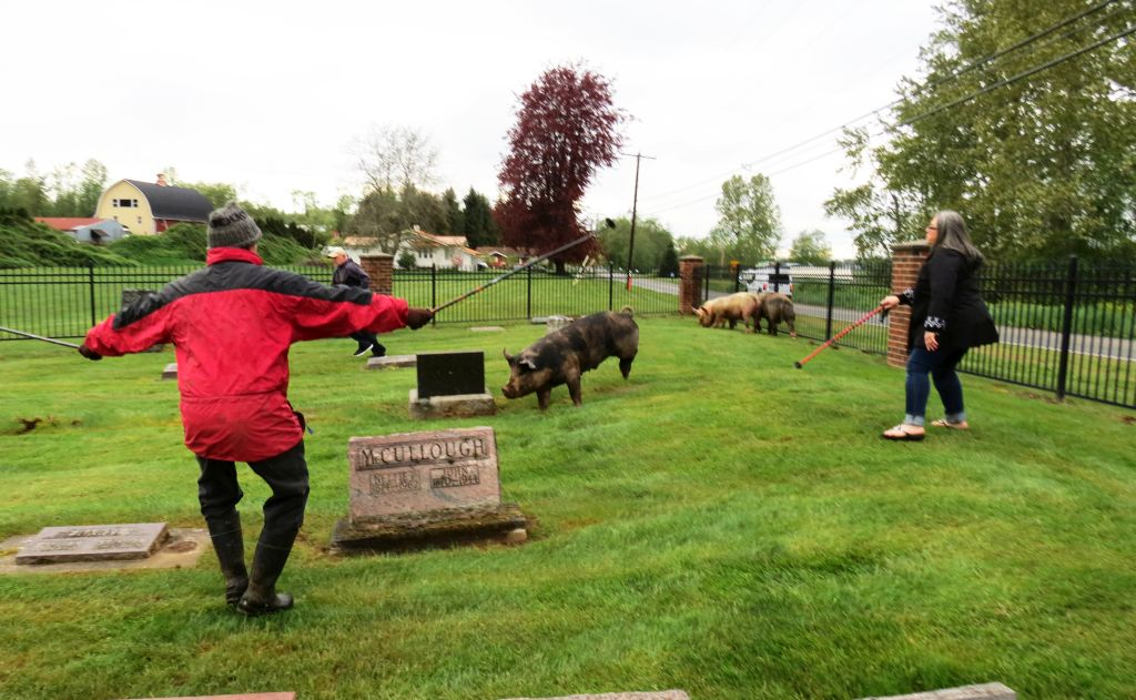volunteers work to keep pigs corraled in Enterprise Cemetery until animal control officers can herd them back to their home 2017-05-05 1745