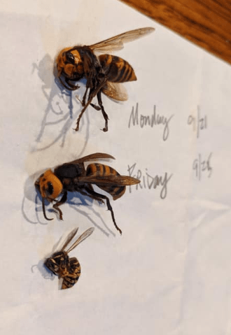 2 Asian giant hornet specimens found in Blaine, WA alongside a common yellow jacket wasp (September 2020). Source: Washington State Department of Agriculture