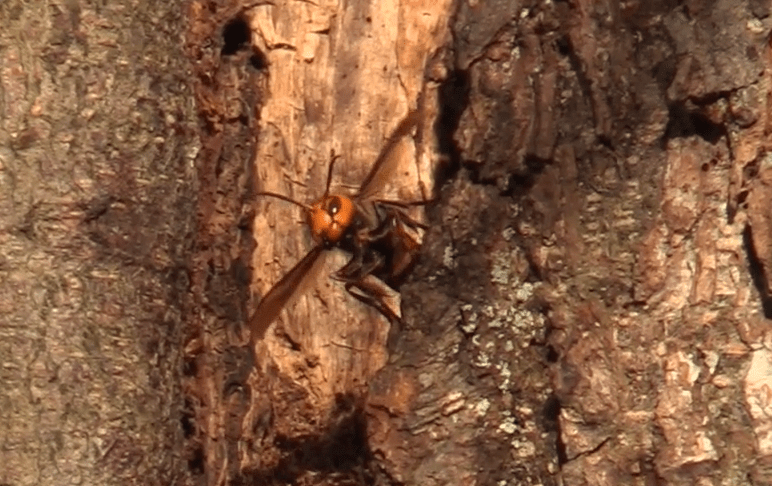 An Asian giant hornet is seen leaving the first nest ever located in the US. (October 22, 2020). Still from a WSDA video