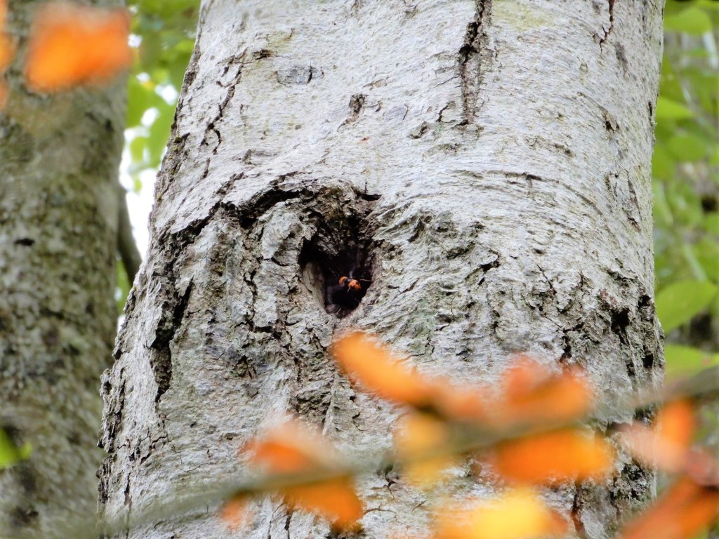 An Asian giant hornet is visible at the opening to its nest in a tree (September 15, 2021). Photo courtesy of WSDA