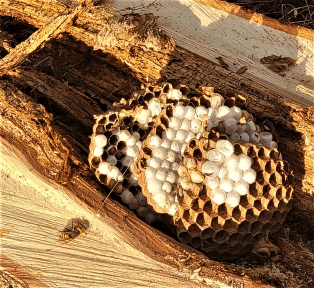 Eradicated Asian giant hornet nest (September 11, 2021). Photo courtesy of WSDA