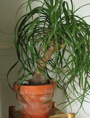 Комнатные растения с длинными листьями. Описания, названия ...