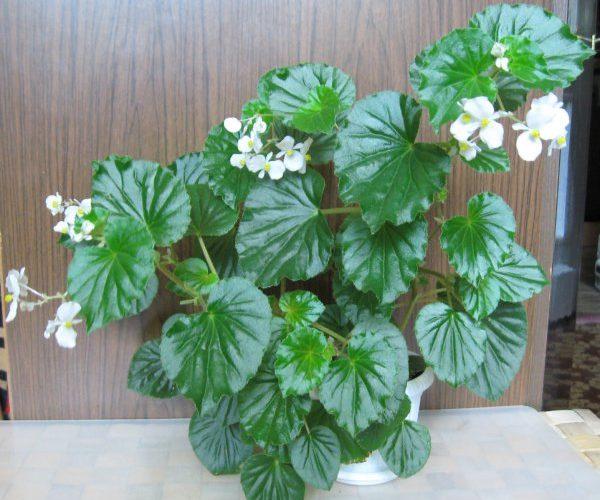 Комнатное растение с кислыми листьями - What Flower?