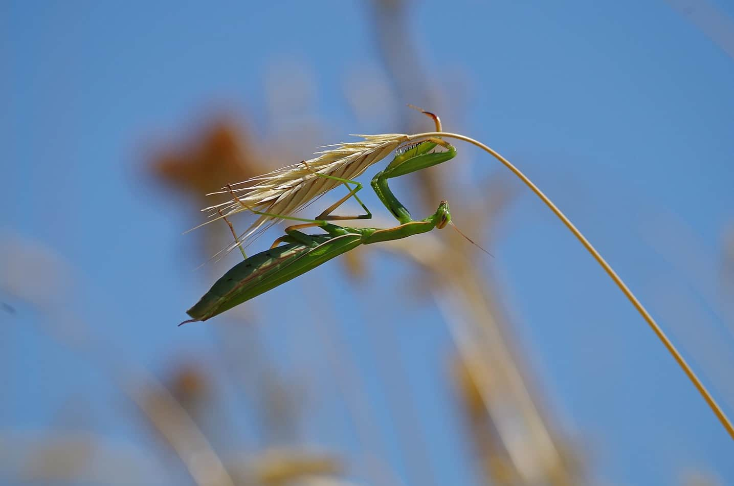 Is The Praying Mantis Good For My Garden