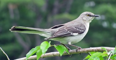Northern Mockingbird sate birds of texas