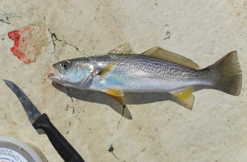 State Fish of Delaware