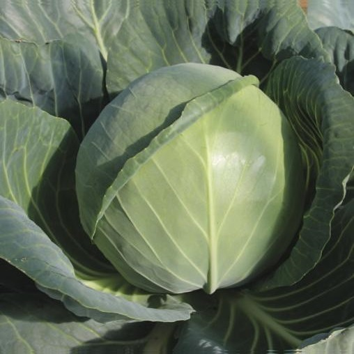 Synthetic Cabbage| How its Made(Video) and How to Identify it