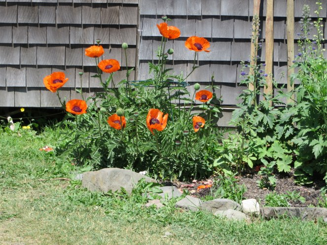 monhegan-2016-orange-poppies-1