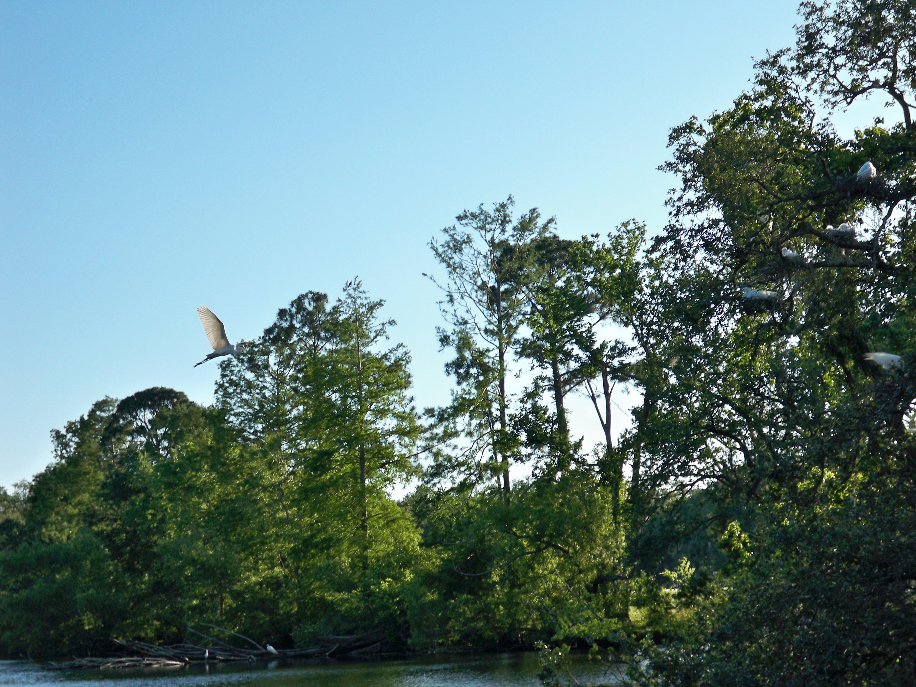 Herons Building Nests in Audubon Park