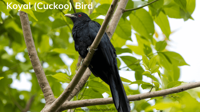 Koyal-Bird-Cuckoo-Bird-Detail-Information.
