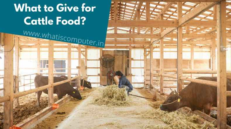 What to Give for Cattle Food