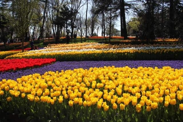 Tulips in bloom in Emirgan Park, Istanbul