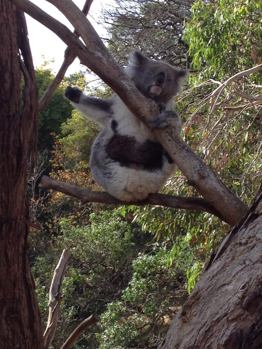 A koala at Phillip Island Wildlife Park