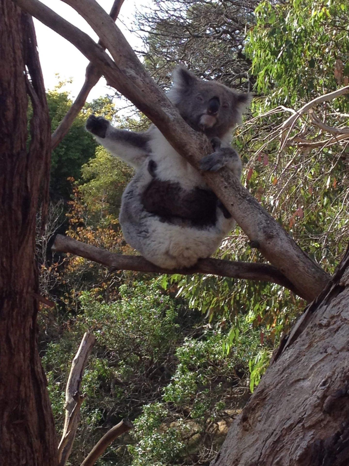 A koala at Phillip Island Wildlife Park