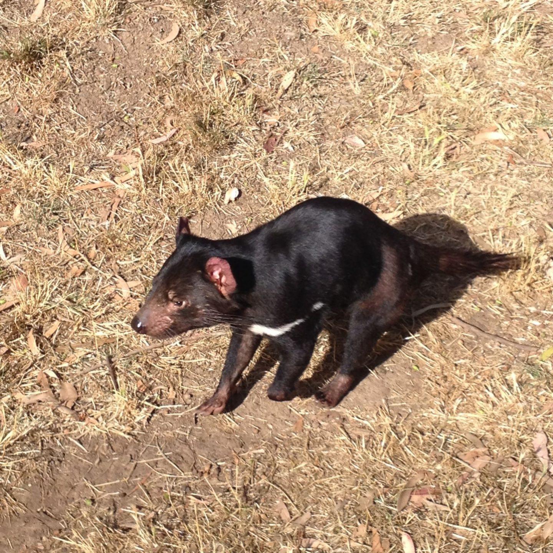 A Tasmanian devil at Phillip Island Wildlife Park