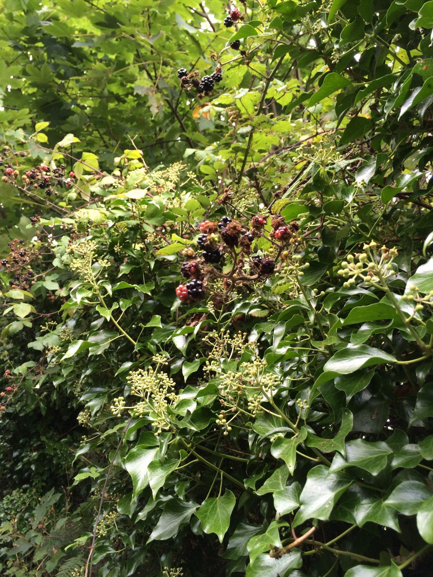 Blackberries in Cornwall