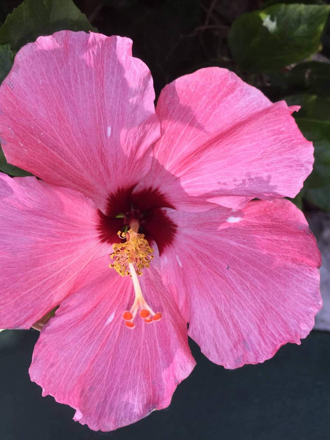 Pink flower in Clearwater, Florida