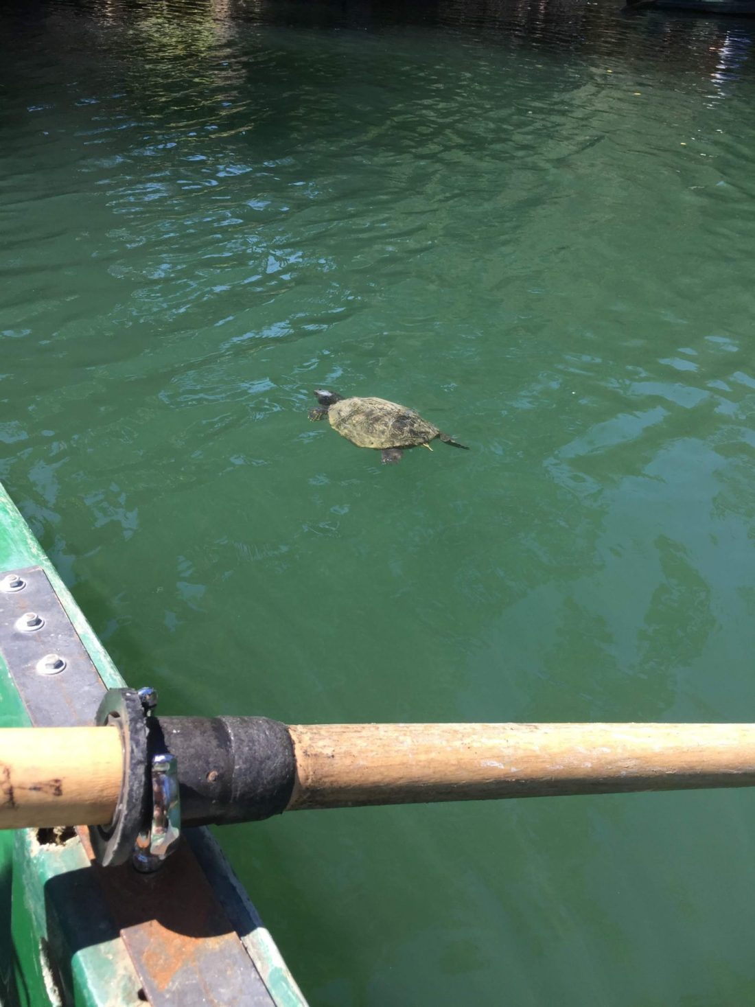 Tortoise in Villa Borghese Gardens lake