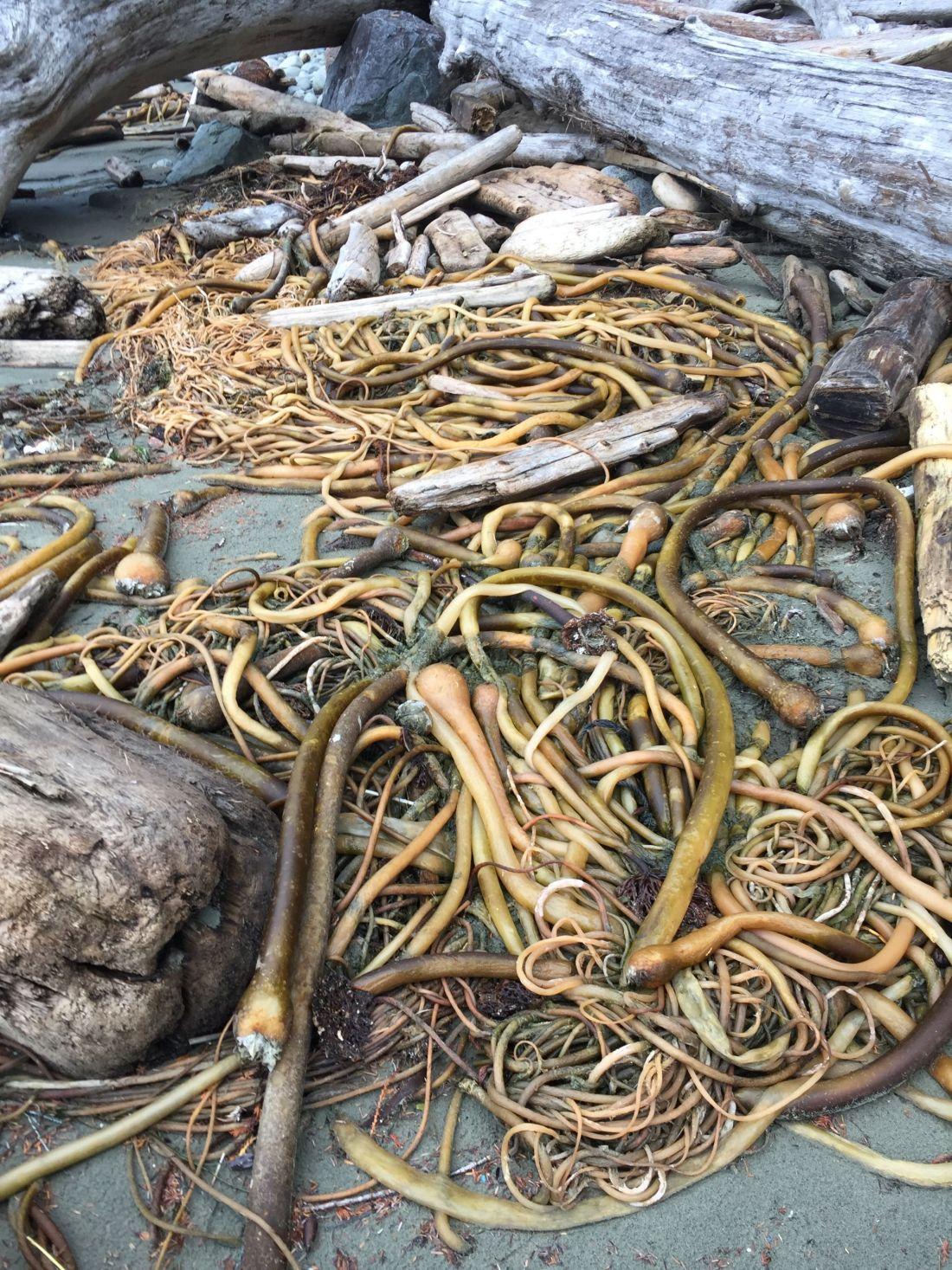 Seaweed at Pacific Rim National Park