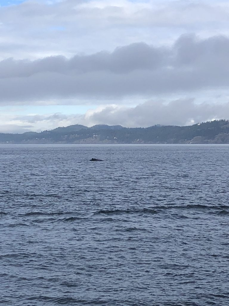 Whale watching in Vancouver: humpbacks in BC