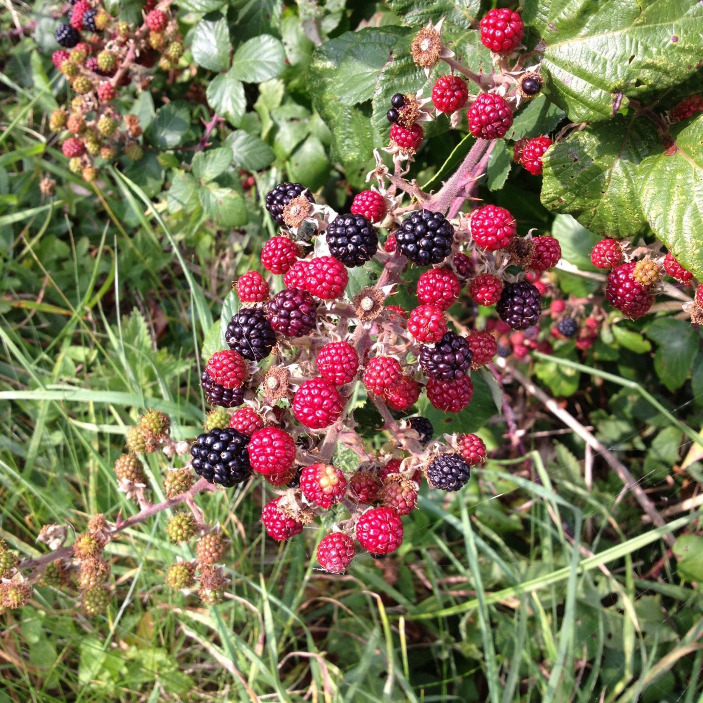 Blackberries on the South West Coast Path