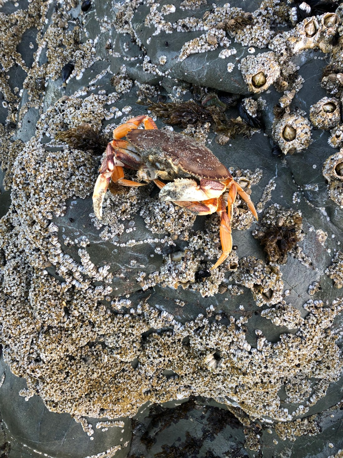 Crab on the beach in Vancouver Island