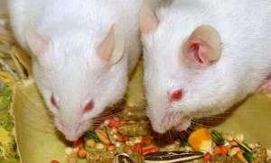 Myszy pomogą w wyszukiwaniu chorób lub min