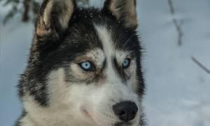 Naukowcy odkryli geny odpowiadające za niebieskie oczy u husky