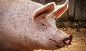 Genetycznie zmodyfikowane świnie są odporne na śmiertelnego wirusa